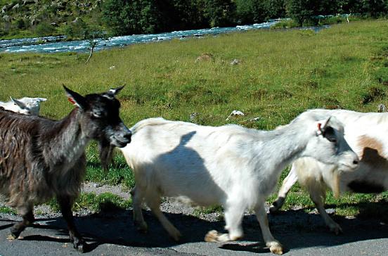 slide8_optima-dyr-geit